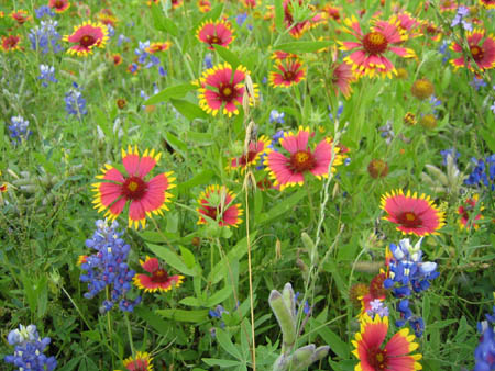 red, yellow and blue flowers along the countryside of central texas